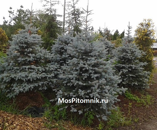 Picea pungens Edith 1