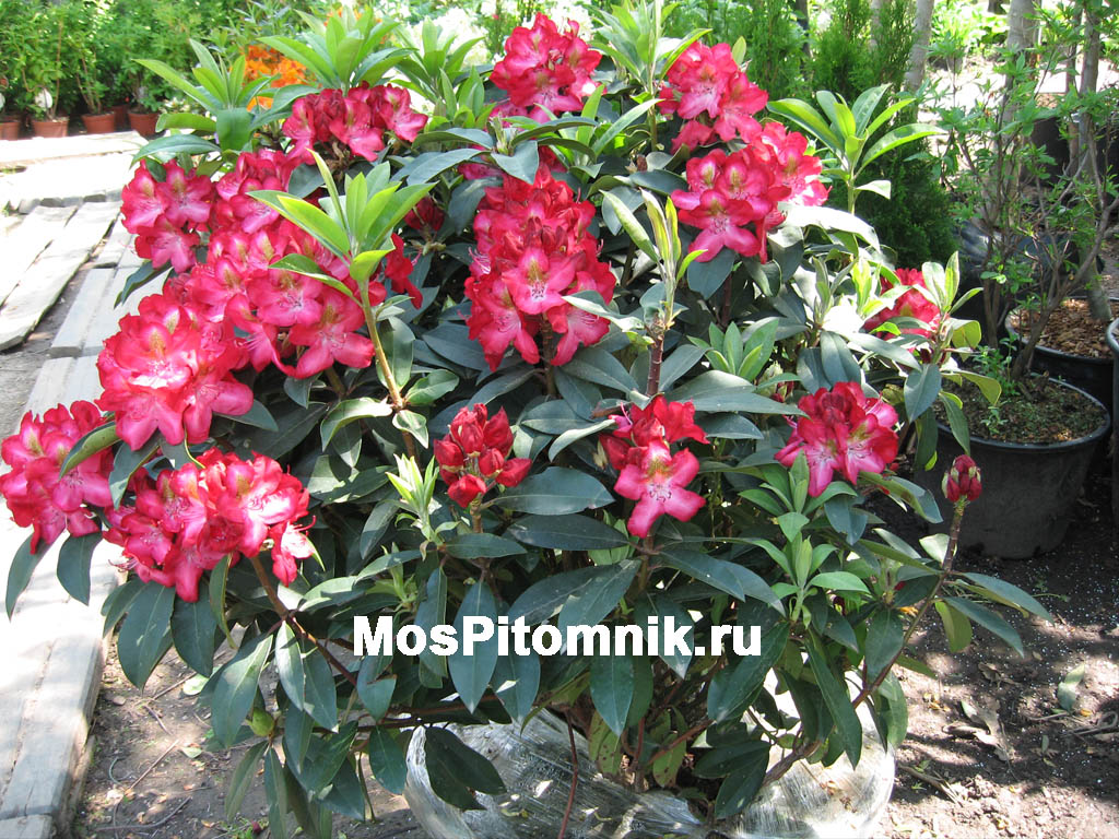 http://www.mospitomnik.ru/pic/rododendron/rododendron_4.jpg